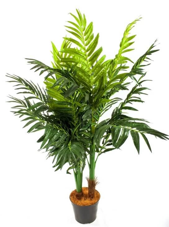 Один из видов комнатной пальмы