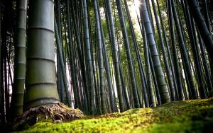 Взрослые стебли бамбука