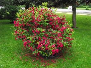Куст, посаженный правильно, порадует цветением