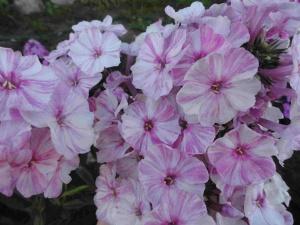 Украшение сада цветущим растением