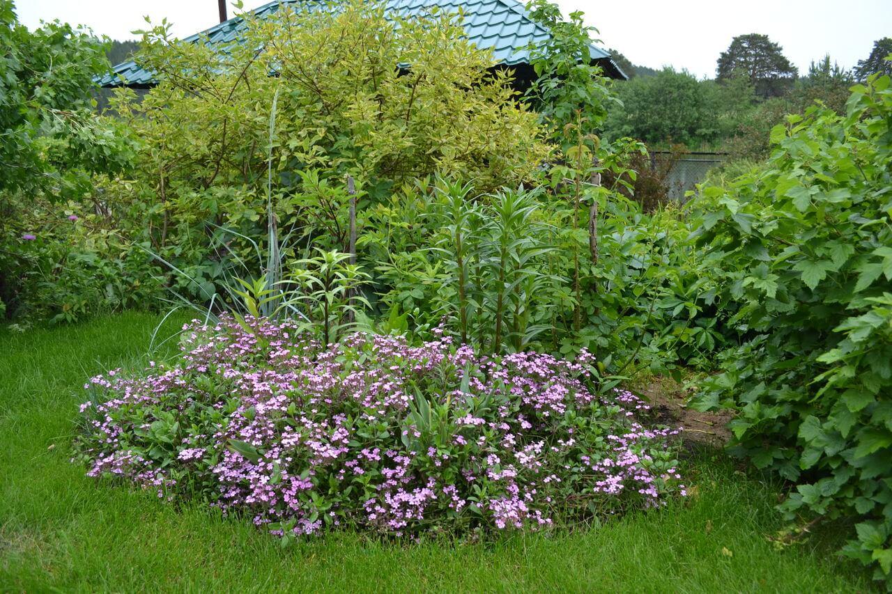 Мыльнянка базиликолистная - размножение и выращивание