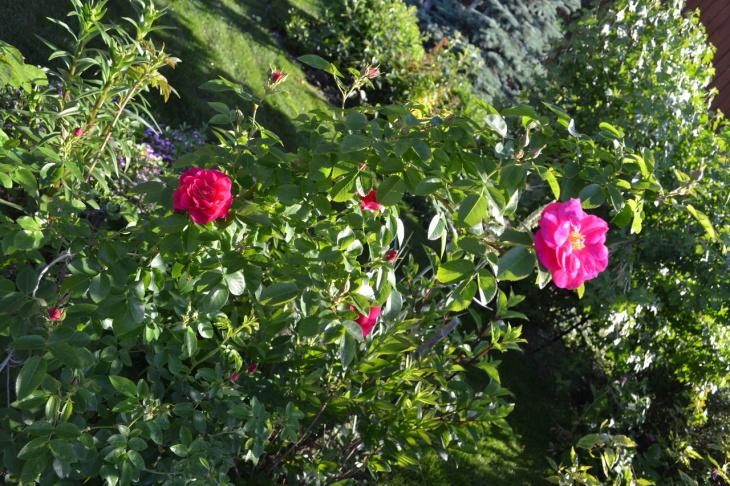 Взрослая канадская роза
