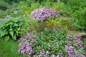 Мыльнянка в ландшафте сада
