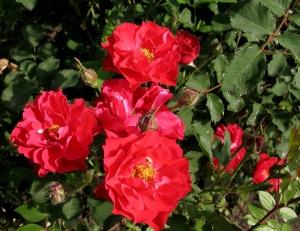 Цветение канадской розы