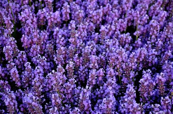 Цветение лаванды