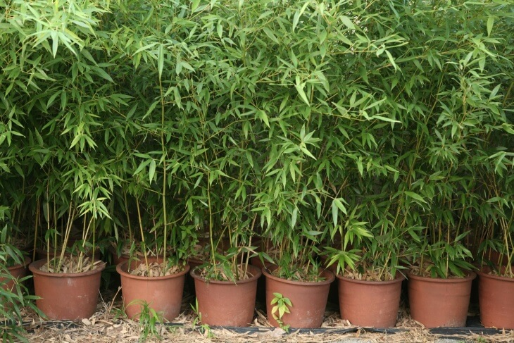 Домашний бамбук