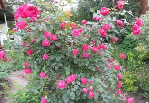 Куст канадской розы