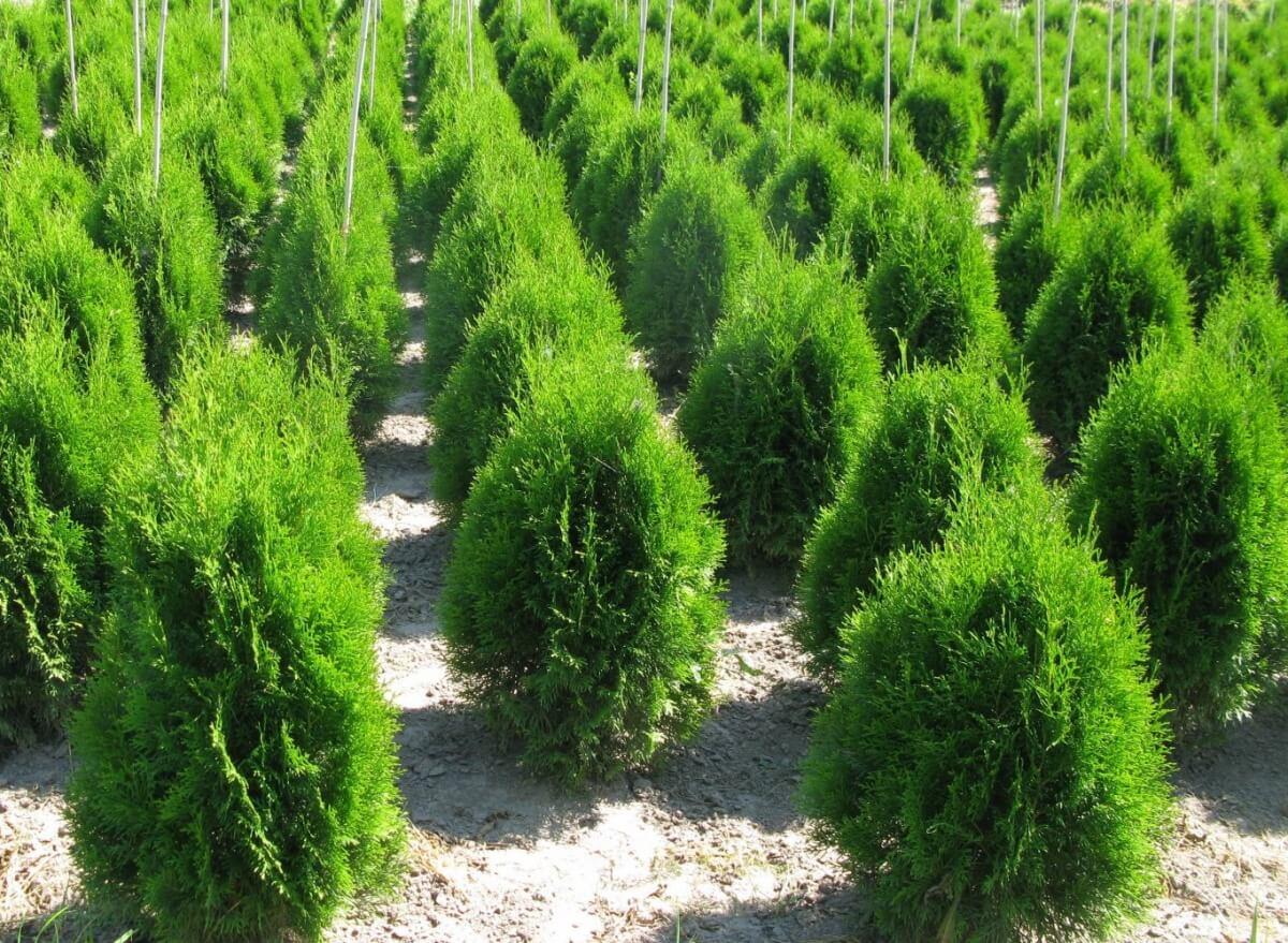 Все о выращивании туи из семян: от посева и ухода до пересадки в грунт
