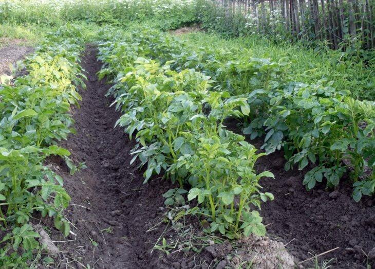 Выращивание картофеля на огороде