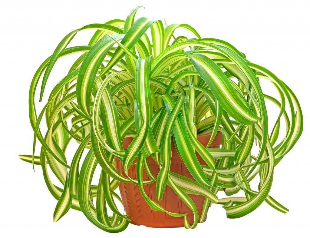 Хлорофитум Бонни - как размножать, выращивать и содержать