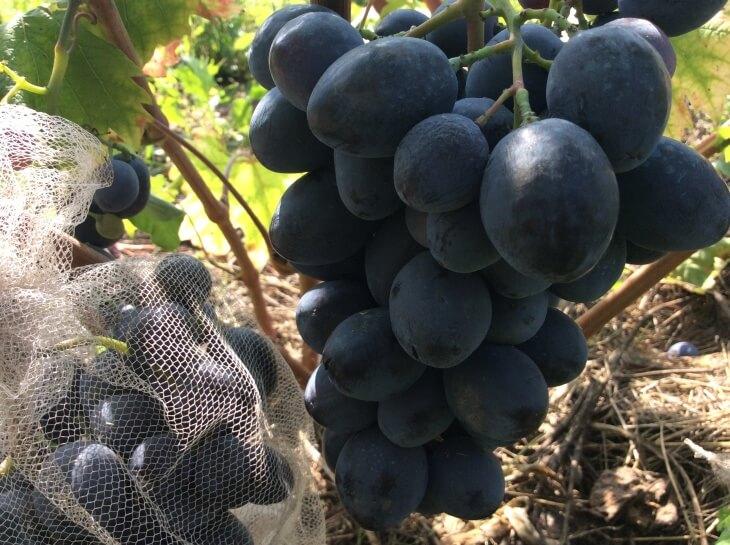Урожай после правильного полива винограда