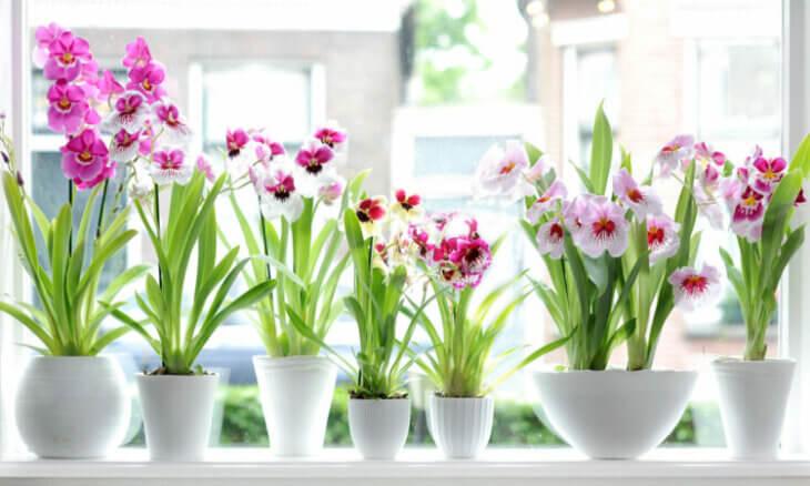 Цветение орхидей на окне