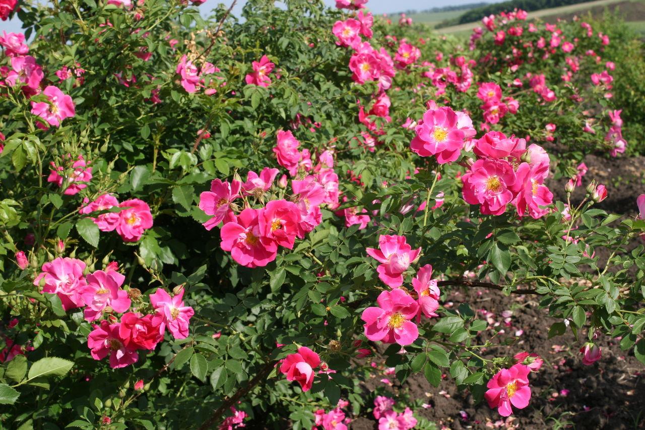 Канадские розы: вся самая полезная информация о их выращивании