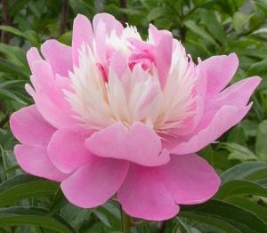 Первое цветение пиона