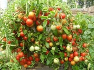 Богатый куст томатов, который может вырастить каждый