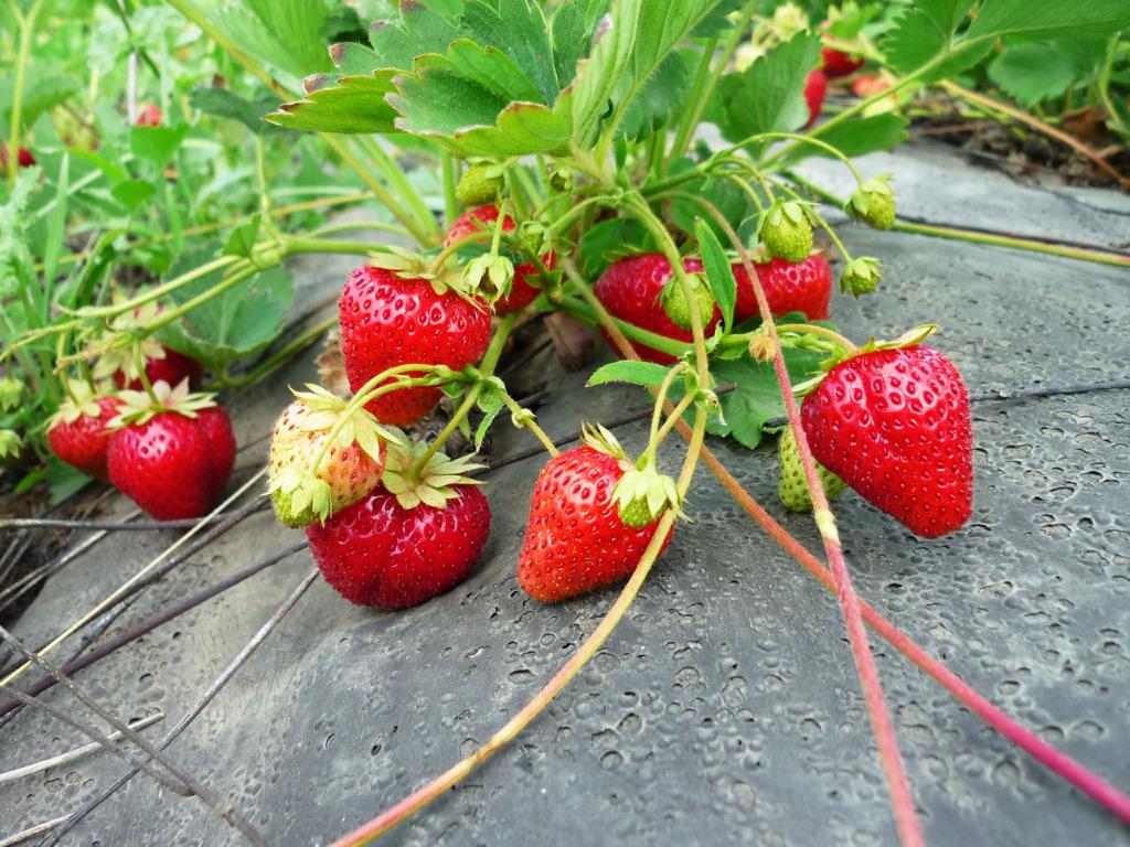 Голландская технология выращивания клубники: от подготовки до сбора урожая