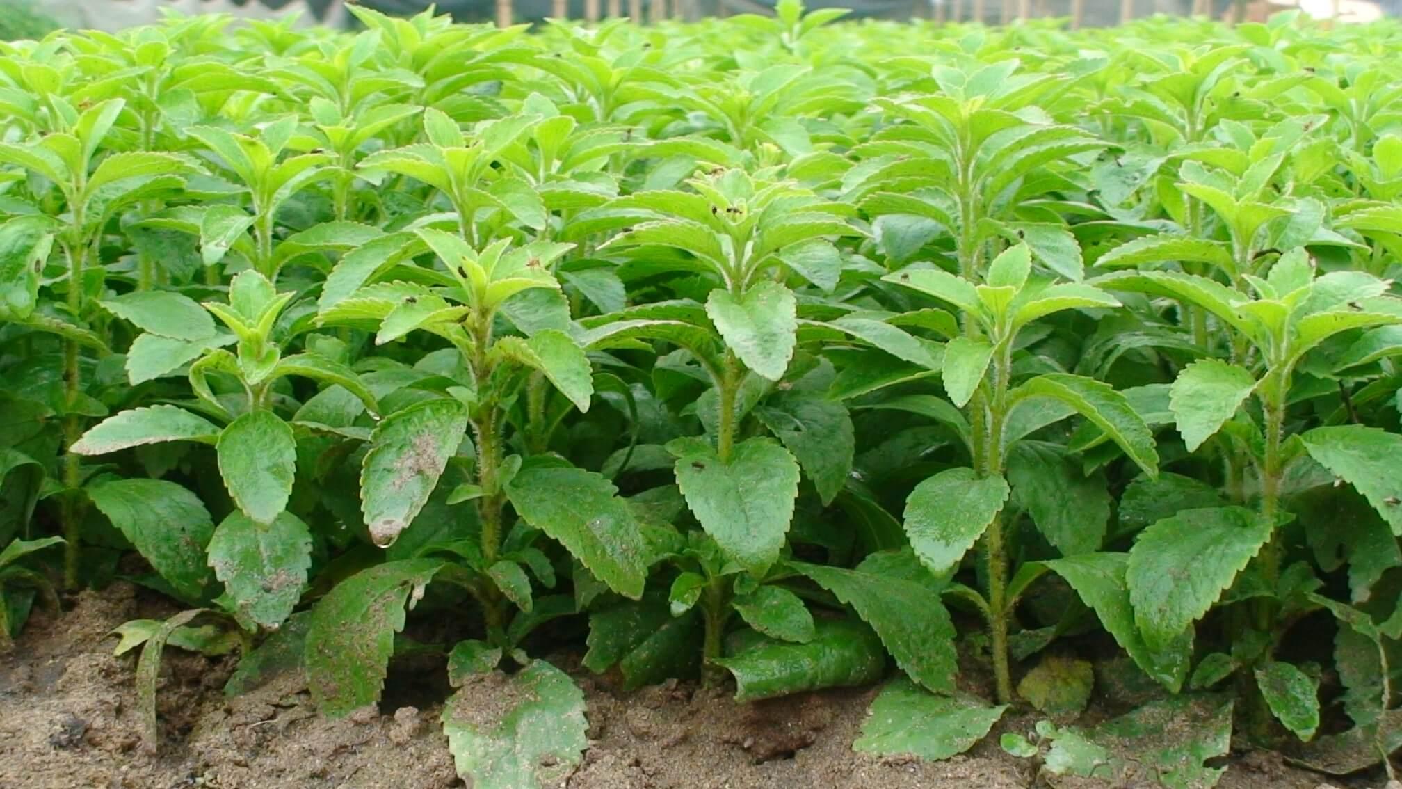Стевия: выращивание в домашних условиях, советы по уходу и посадке