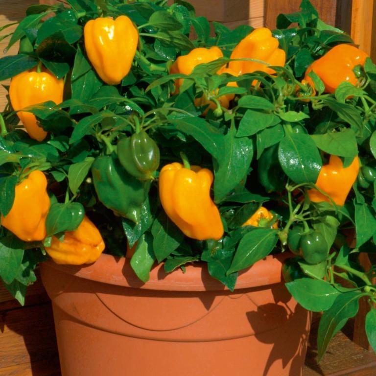 Выращивание сладких перцев в домашних условиях