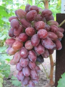 Здоровый урожай винограда Граф Монте Кристо