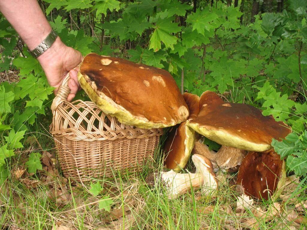 Как вырастить белый гриб в домашних условиях: советы, рекомендации