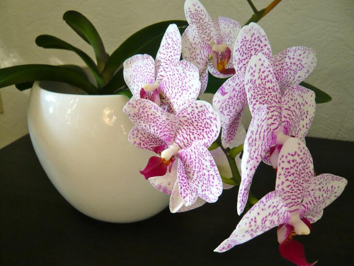 Здоровая орхидея в домашних условиях