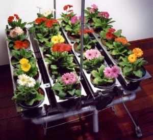 Выращивание гербер в домашних условиях