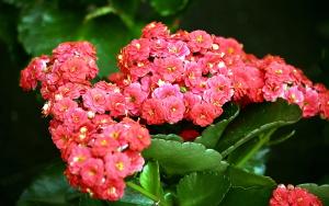 Цветение декоративного каланхоэ