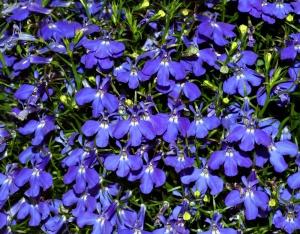 Нежные цветочки лобелии