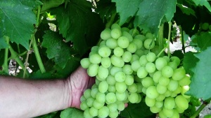 Виноград Ландыш, выращенный в саду