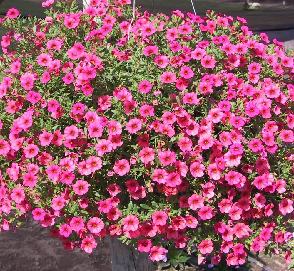 Лобелия: выращивание и уход, основные советы