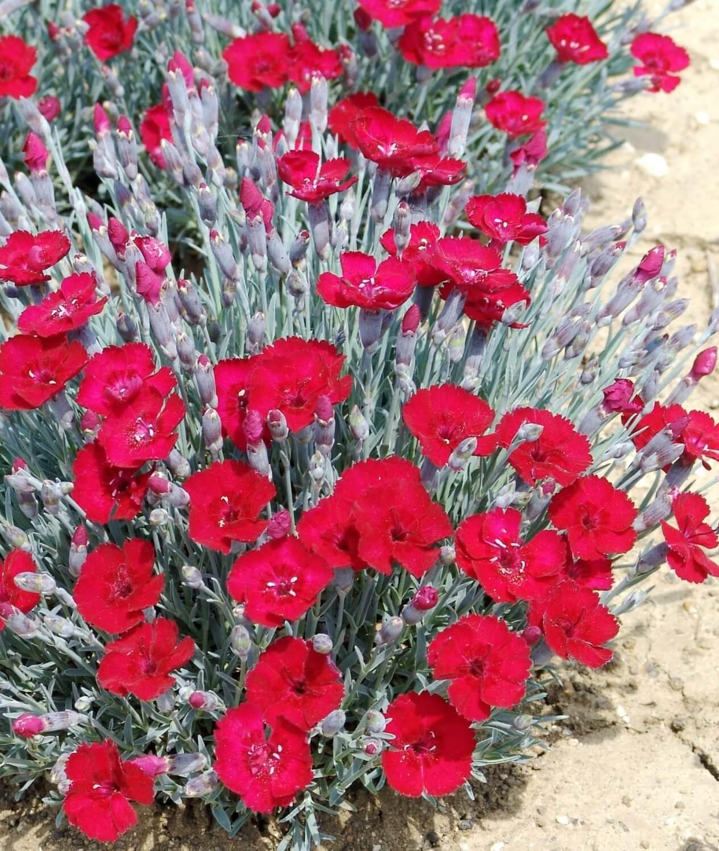 Гвоздика альпийская, описание сорта и особенности цветения растения, в каком климате его выращивают