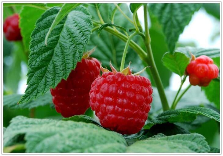 Плоды малины, которые можно снять