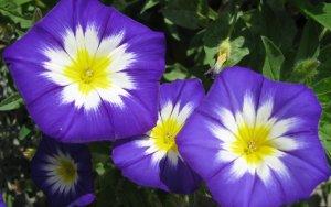 Один из видов цветения ипомеи