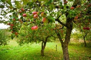 Даже такие яблони требуют защиты зимой