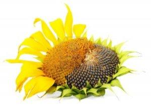 Созревшие семена подсолнечника
