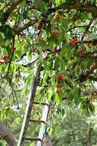 Сбор вишни в саду