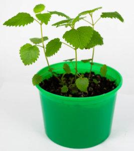 Выращивание мелиссы на подоконнике
