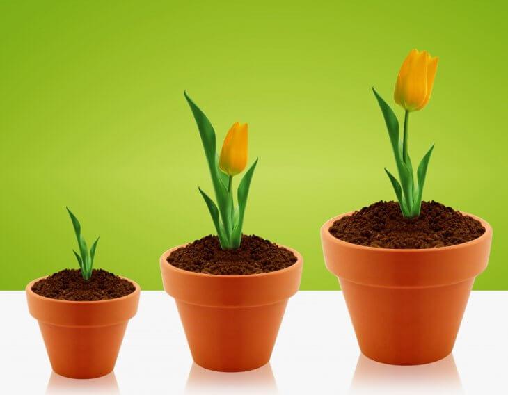 Этапы роста тюльпана