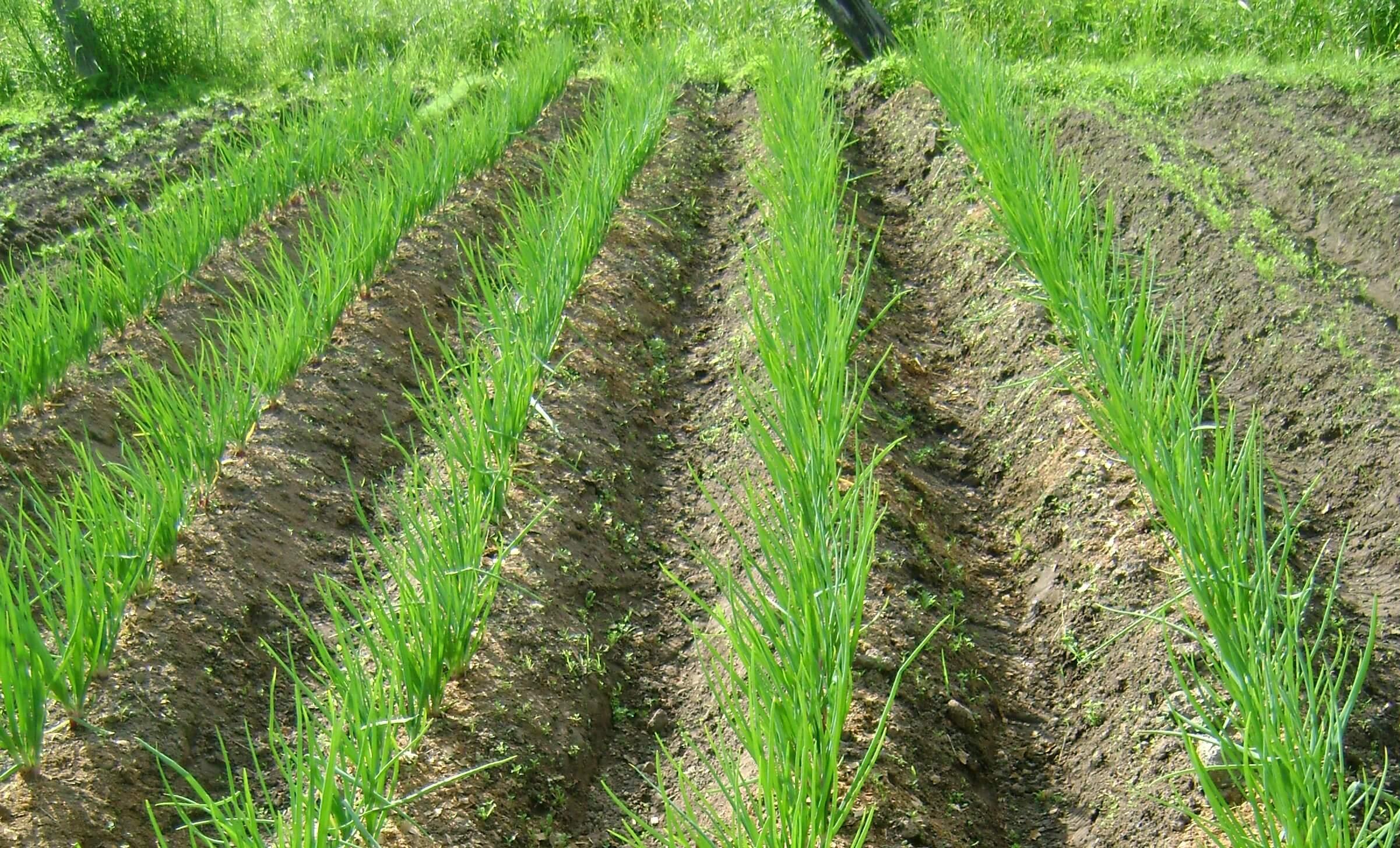 Как правильно посадить лук - нюансы выращивания и ухода для хорошего урожая