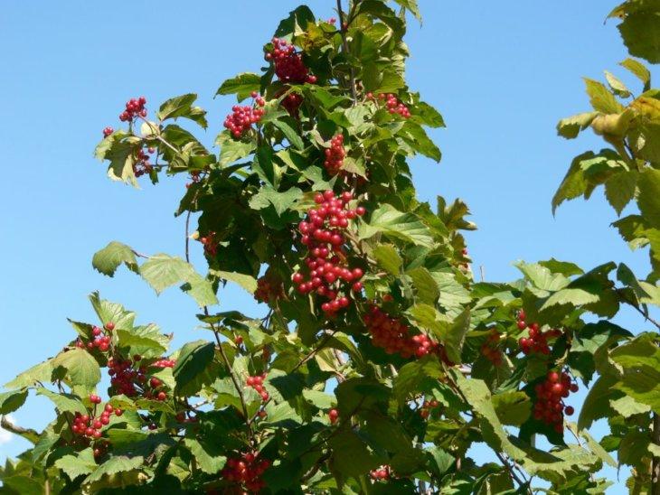 Созревание ягод