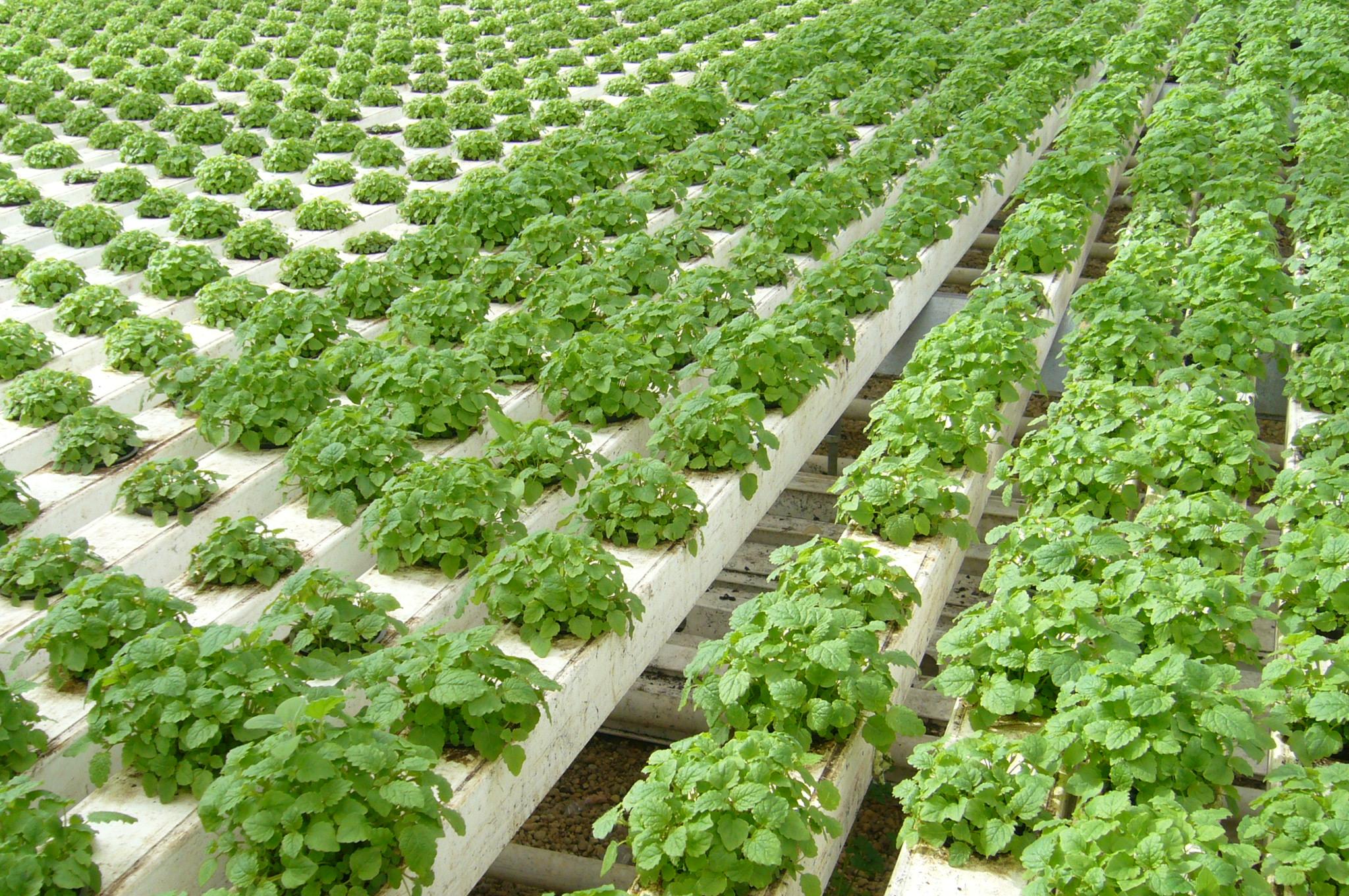 Основные особенности выращивания мелиссы и уход за растением