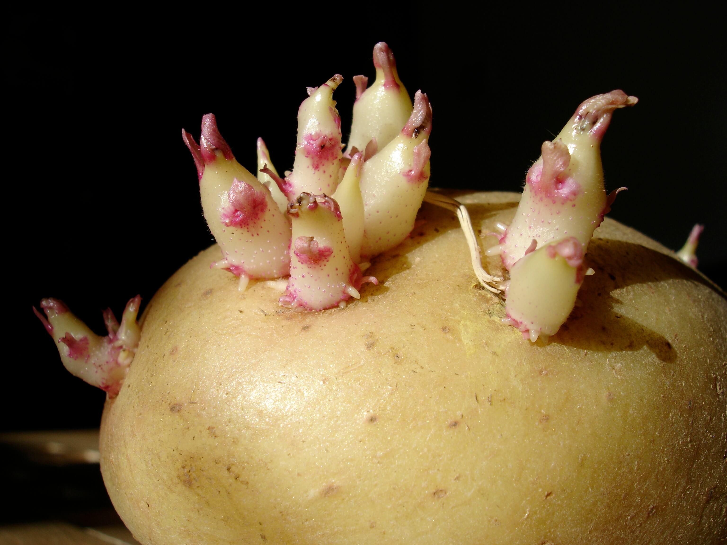 Размножение картофеля возможно вегетативное, семенное или черенкованием