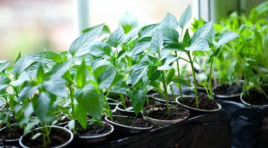 Выращивание рассады перца с нуля в домашних условиях - посев, уход, пересадка в открытый грунт