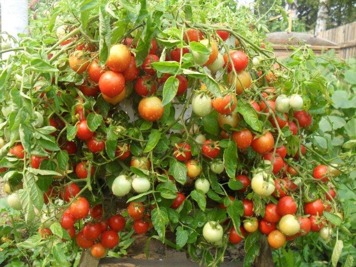 Богатый куст томатов