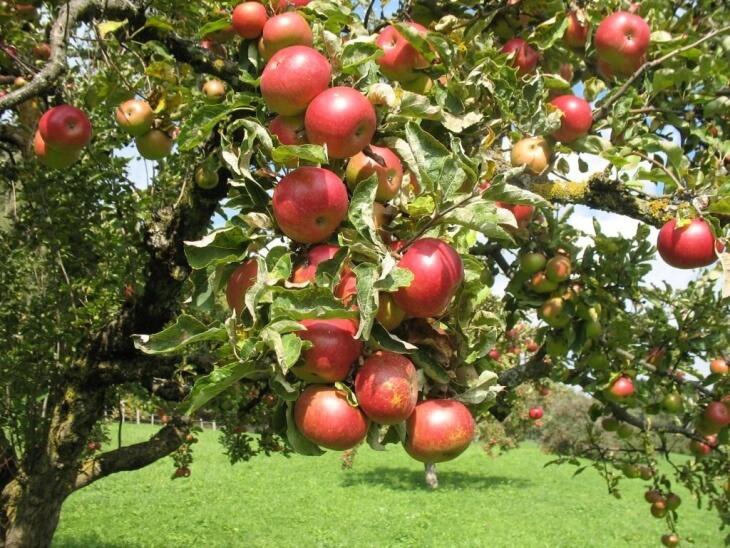 Яблоня в летний период