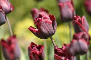 Один из сортов тюльпанов