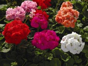 Пышные шапки герани в цветнике
