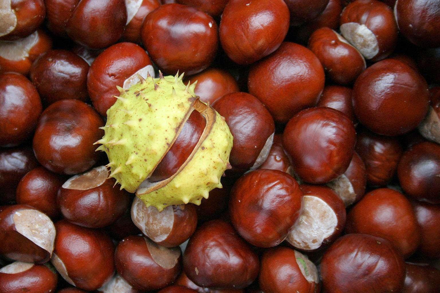 Выращивание и уход за гвинейским каштаном в домашних условиях