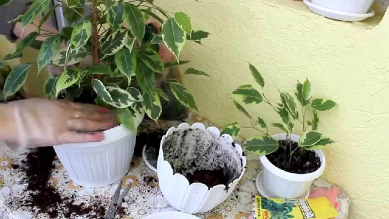 Размножение фикусов: как взять отросток, укоренить в субстрате и воде