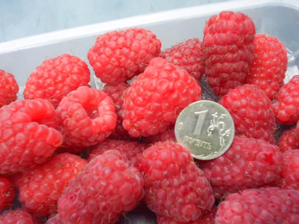 Мнение садоводов о достоинстве сорта малины «Патриция» и его отрицательных сторонах